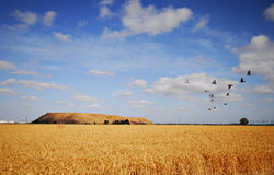 A wheat field in summer day, w Royalty Free Stock Photography