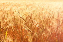 Wheat field on a summer evening. Spikelet of wheat Royalty Free Stock Images