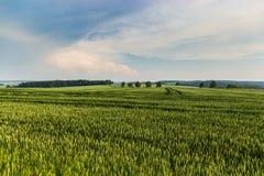 Wheat field in summer evening stock photo