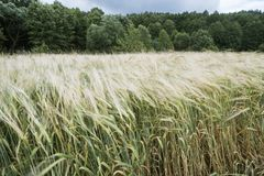 Wheat field by summer royalty free stock images