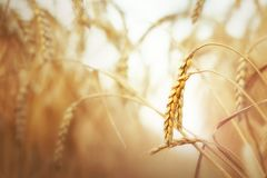 Wheat field in summer Royalty Free Stock Image