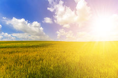 Wheat field in summer. Harvest and agriculture farming concept. Stock Images