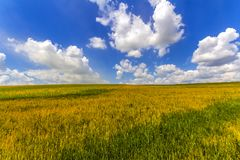 Wheat field in summer. Harvest and agriculture farming concept. Royalty Free Stock Image