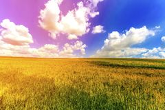 Wheat field in summer. Harvest and agriculture farming concept. Royalty Free Stock Photography