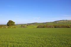 Wheat field in summer Stock Photos