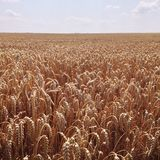 Wheat field. Summer wheat field landscape Royalty Free Stock Photography