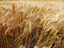 Wheat field. Summer landscape - an agriculture area with wheat field Stock Photos