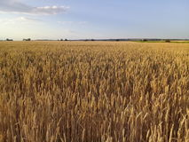 Wheat field Summer Landscape Royalty Free Stock Image