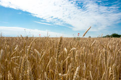 Wheat field, summer landscape Royalty Free Stock Photography