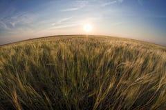 Wheat field Stock Photography