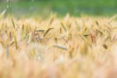 Wheat field in summer Royalty Free Stock Photos