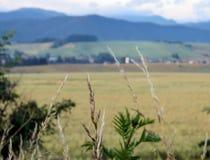 Wheat field in Slovakia stock image