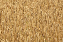 Wheat field during summer Royalty Free Stock Photo