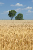 Wheat field during summer Royalty Free Stock Images