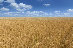 Wheat field during summer Royalty Free Stock Photos