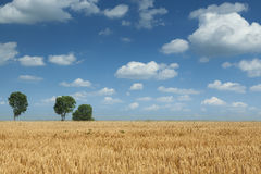 Wheat field during summer Stock Image