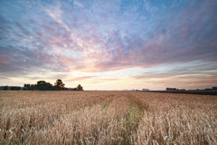 Wheat field during summer sunrise Royalty Free Stock Photos