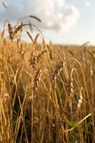 Wheat field. At summer sunset Royalty Free Stock Photography