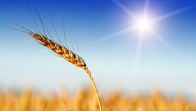 Wheat field in summer time Royalty Free Stock Photography