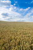 Wheat field on summers day Stock Photos
