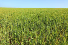 Wheat field. Summertime. Royalty Free Stock Photo