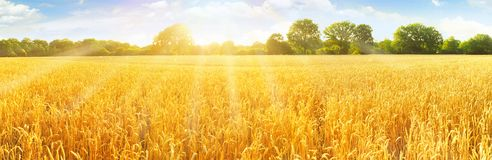 Wheat Field in Summertime royalty free stock images