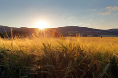 Wheat field with sun Stock Photography