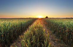 Wheat field with sun Stock Photos