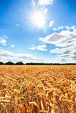 Wheat field with sun anb blue sky, Agriculture industry Royalty Free Stock Image