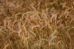 Wheat field in the sun Royalty Free Stock Photo