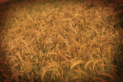 Wheat field in the sun Royalty Free Stock Images