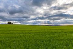 Wheat Field with Sun Rays Breaking Through Cloud Stock Photo
