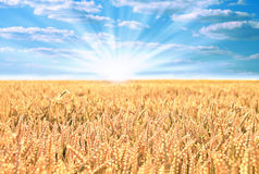 Wheat field with the sun Royalty Free Stock Photography