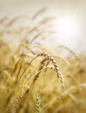 Wheat field and sun Stock Photography