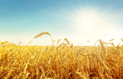 Wheat field and sun Royalty Free Stock Images