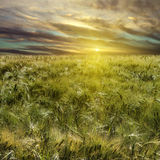 Wheat field and sundown Royalty Free Stock Photo