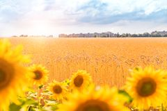Wheat field and sunflower. Wheat field Royalty Free Stock Images