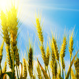 Wheat field with sunlight stock photography