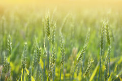 Wheat Field and Sunlight Royalty Free Stock Images