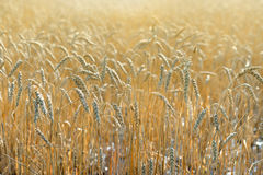 Wheat Field With Sunlight Royalty Free Stock Photography