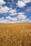 Wheat field on a sunny day Royalty Free Stock Photography