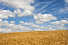 Wheat field on a sunny day Stock Image