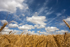 Wheat field on a sunny day Stock Photos