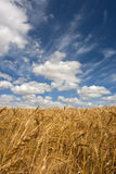 Wheat field on a sunny day Royalty Free Stock Photo