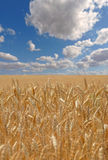 Wheat field on a sunny day Royalty Free Stock Photos