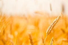 Wheat field. On sunny day Royalty Free Stock Images