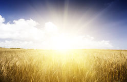 Wheat field on a Sunny day. Royalty Free Stock Images