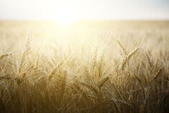 Wheat field on a Sunny day. Royalty Free Stock Image