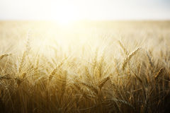 Wheat field on a Sunny day. Stock Photography