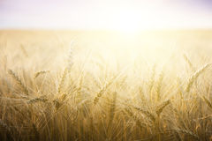 Wheat field on a Sunny day. Royalty Free Stock Photo